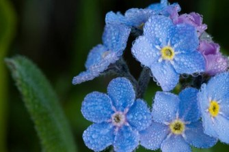 Forget-me-not flowers symbolize National Grandparents Day in the United States